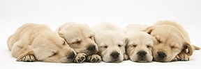 Sleepy Retriever-cross pups