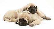 Sleepy fawn English Mastiff pups