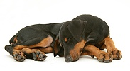 Sleeping Doberman pup