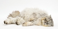 Sleepy Chinchilla Persian cat