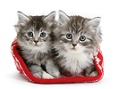 Maine Coon kittens in a Christmas hat