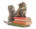 Maine Coon kittens playing on a stack of books