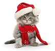 Maine Coon kitten wearing a Santa hat and scarf