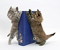 Maine Coon kittens with 'Your Cat' binder