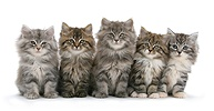 Five Maine Coon kittens, 8 weeks old