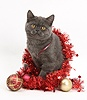 Grey kitten with Christmas decorations