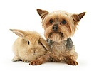 Yorkie and baby sandy Lop bunny