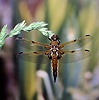 Four-spot Chaser Dragonfly