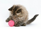 Maine Coon kitten, 8 weeks old, playing with a kitten toy