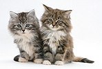 Maine Coon kittens, 8 weeks old