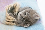 Maine Coon kitten under a blanket.