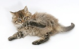 Maine Coon kitten, 7 weeks old, lying on its back