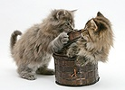 Maine Coon kittens playing with a basket