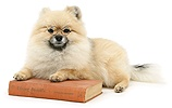 Pomeranian with glasses and book