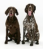 Two German Pointers