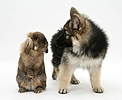 Alsatian pup with Lionhead rabbit