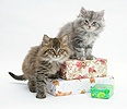 Maine Coon kittens sitting on birthday presents