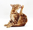 Brown marble Bengal cat licking its hind foot
