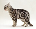 Dominant male silver tabby cat