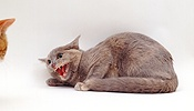 Blue-cream Tonkinese cat in defensive posture