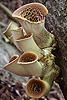 Dryad's Saddle fungi
