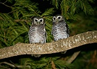 White-browed Boobok Owls
