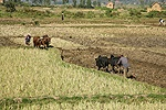 Zebu pair used to plough rice paddies. Madagascar
