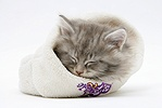 Maine Coon kitten asleep a woolly hat