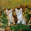 Two ginger kittens among fallen Oak leaves