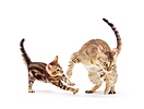 Mother Bengal cat play-fighting with her kitten