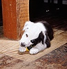 Black-and-white Border Collie pup chewing a toy