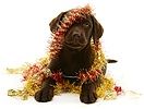 Chocolate Labrador Retriever pup with Christmas tinsel