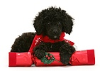 Black Miniature Poodle with Christmas cracker