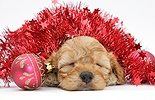 Sleepy Golden Cockapoo pup, 6 weeks old, with tinsel
