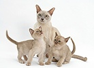 Burmese mother cat and kittens
