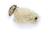 Vapourer Moth with eggs