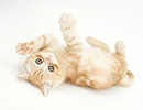 Ginger kitten rolling playfully
