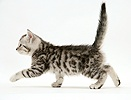 Silver tabby kitten walking across