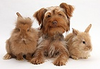 Yorkie x Poodle pup with Sandy Lionhead rabbits