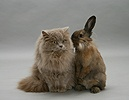 Lilac longhair cat with Lionhead Lop rabbit