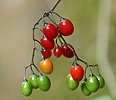 Woody Nightshade berries