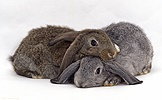 Silver and Agouti lop-eared rabbits lying together