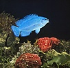 Electric Blue Damselfish