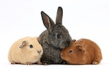 Baby agouti rabbit and baby red and yellow Guinea pigs
