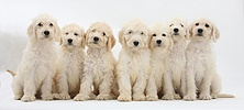 Seven Labradoodle pups, 9 weeks old
