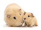 Yellow mother and baby Guinea pigs
