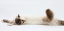 Birman cat stretching out