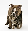 Brindle Bulldog pup playing with tabby kitten