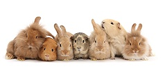Assorted Sandy rabbits and Guinea pigs
