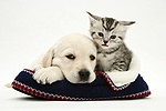Yellow Goldidor pup and tabby kitten in a knitted slipper